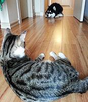 https://upload.wikimedia.org/wikipedia/commons/thumb/8/8e/Domestic_cat_watching_an_alaskan_malamute.jpg/340px-Domestic_cat_watching_an_alaskan_malamute.jpg