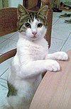 https://upload.wikimedia.org/wikipedia/commons/thumb/5/51/Aegean_cat.jpg/100px-Aegean_cat.jpg
